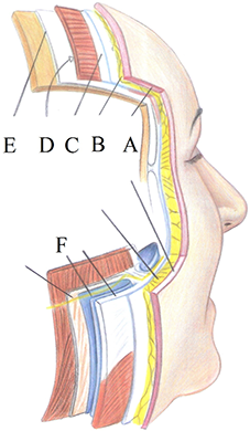 Анатомия слоев лица Бьюти Спейс Клиник